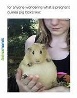Pregnant Guinea Pig Meme