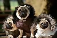 Valentino Pug Puppies