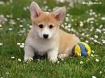 Corgi Dog Puppies