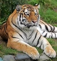 San Francisco Zoo Tiger