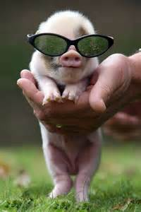 Funny Cute Baby Pigs