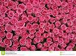 Hot Pink Rose Black Background