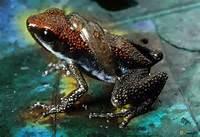 Dart Frog Amazon Rainforest Animals