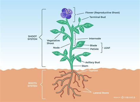 Anatomía de una planta/ Plant Anatomy