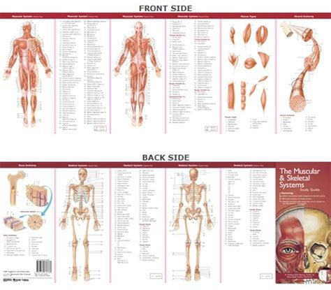 Anatomical Chart Company S Illustrated Pocket Anatomy The Muscular And Skeletal Systems Study Guide