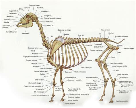 Atlas d'anatomie de la chèvre