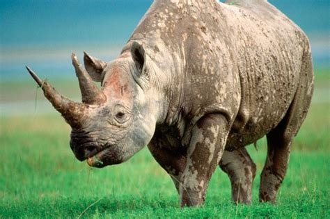 Cuerno De Luz Cuerno De Rinoceronte No 2