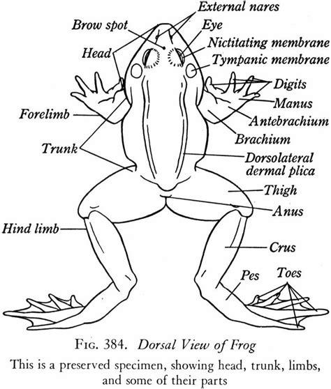 External Frog Diagram Dorsal