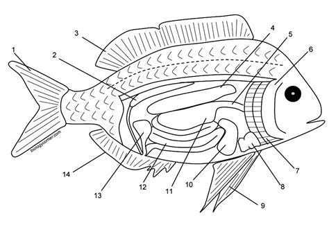Fish Internal Anatomy Coloring Answer Key