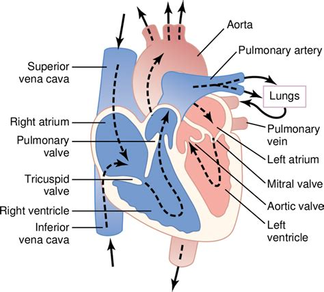 Heart Diagram With Blood Flow