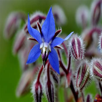 Les Contes De La Bourrache