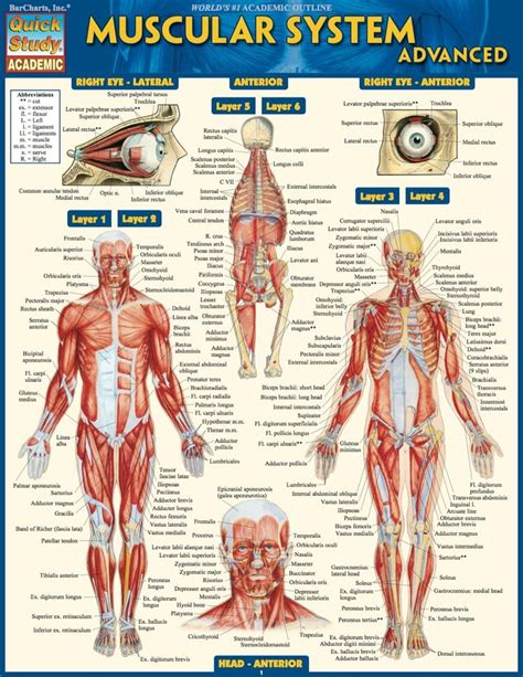 Muscle Labeling Study Guide