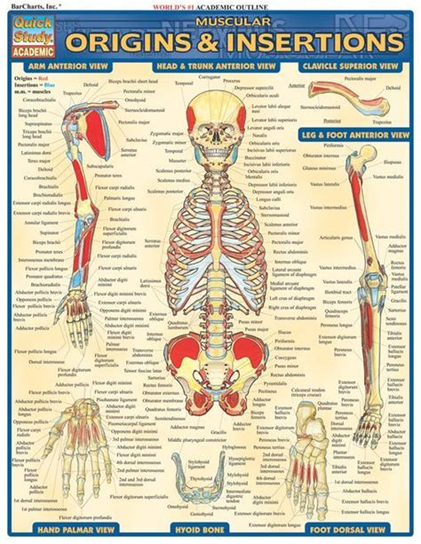 Muscle Origin And Insertion Study Guide