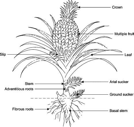 Seed Structure Diagram Pine