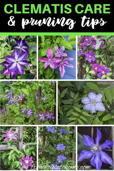The Gardener S Guide To Growing Clematis