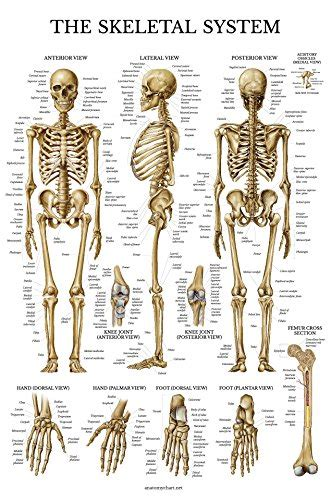 The Skeletal System Tabla Anatomica