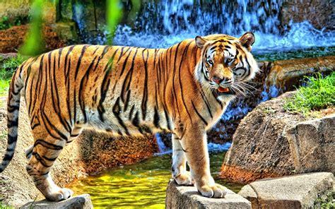 Tigretigre