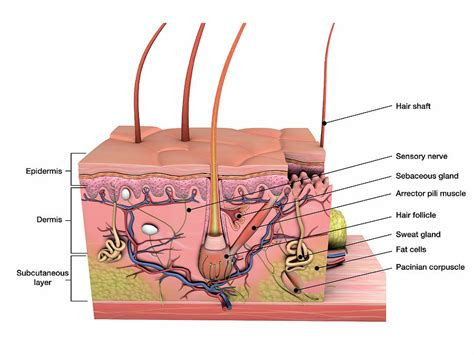 Diagram Of Skin With Labels