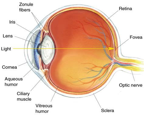 Eye Fovea Diagram Label